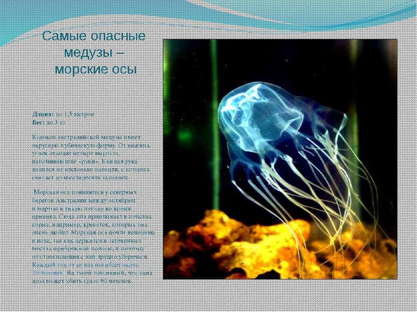 Самые опасные медузы – морские осы Длина: до 1,5 метров Вес: до 3 кг Колокол ...