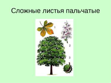 Сложные листья пальчатые