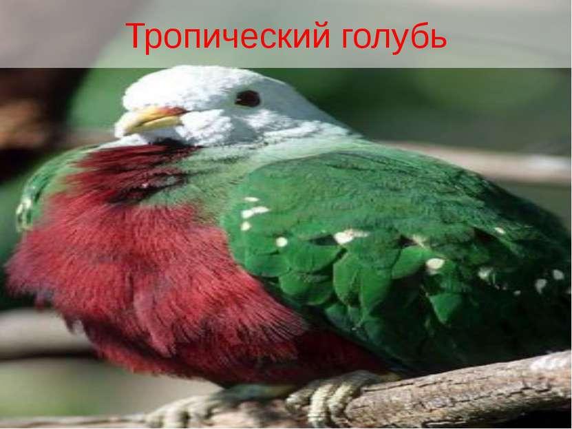 Тропический голубь