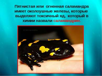 Пятнистая или огненная саламандра имеет околоушные железы, которые выделяют т...