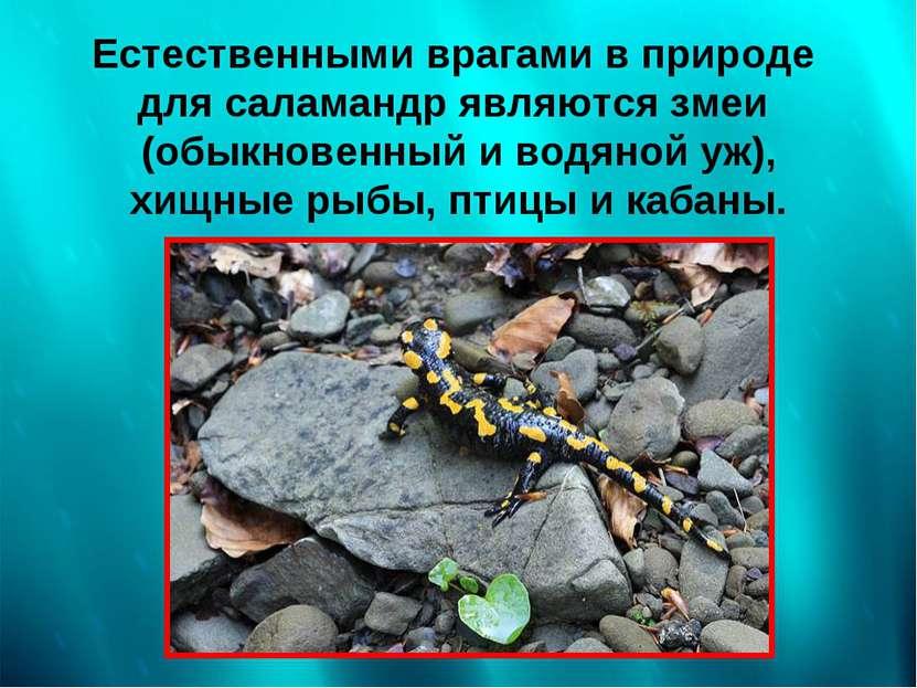 Естественными врагами в природе для саламандр являются змеи (обыкновенный и в...