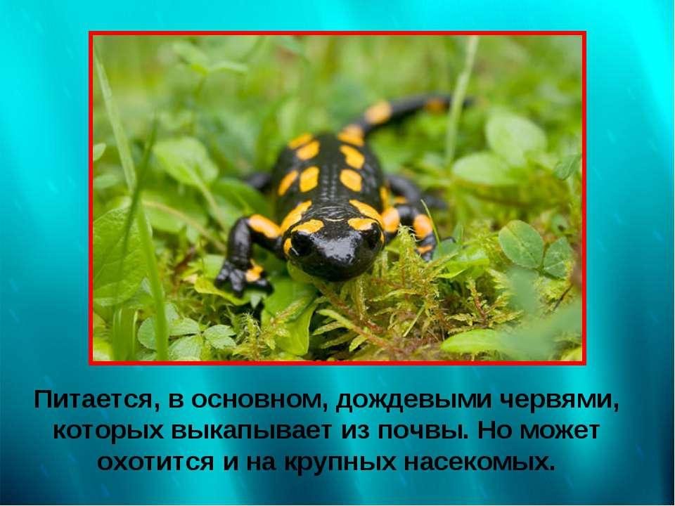 Питается, в основном, дождевыми червями, которых выкапывает из почвы. Но може...