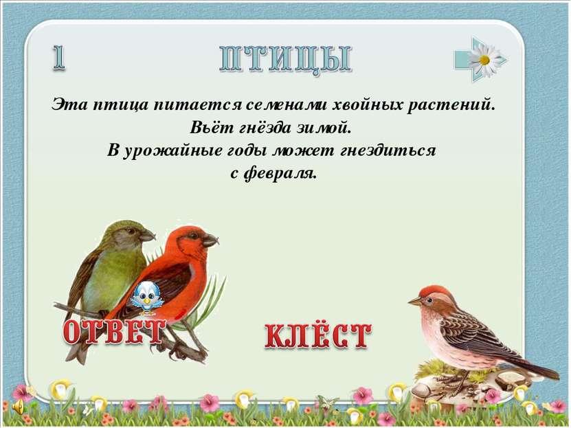 Эта птица питается семенами хвойных растений. Вьёт гнёзда зимой. В урожайные ...
