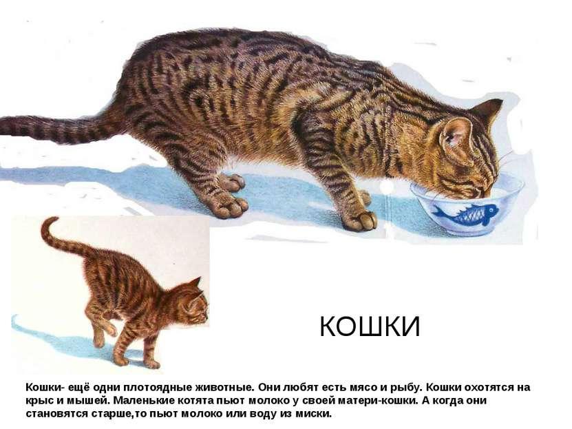 КОШКИ Кошки- ещё одни плотоядные животные. Они любят есть мясо и рыбу. Кошки ...