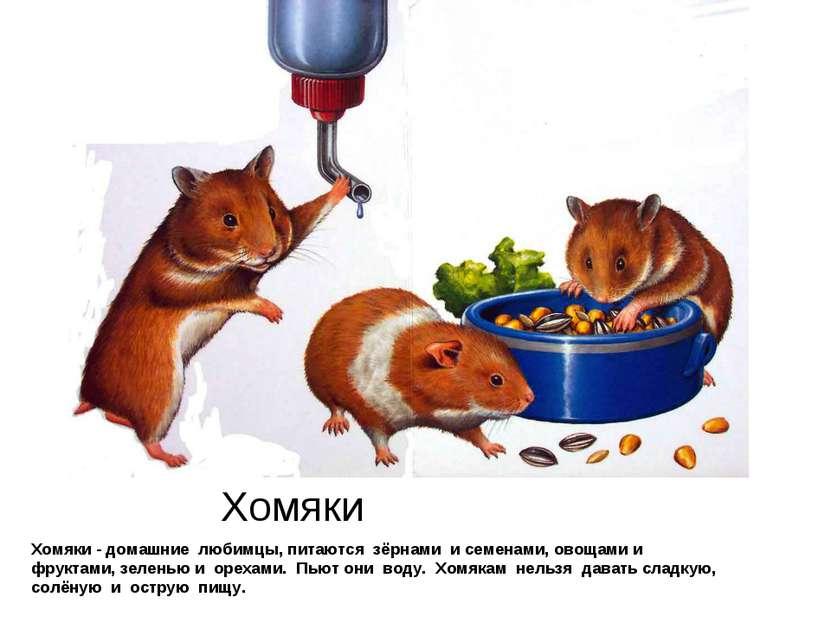 Хомяки Хомяки - домашние любимцы, питаются зёрнами и семенами, овощами и фрук...