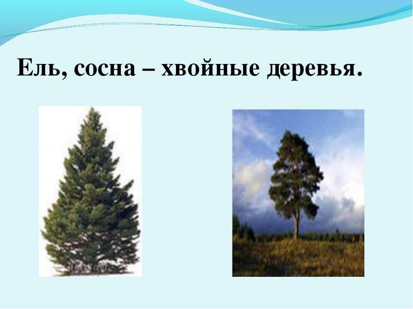 Ель, сосна – хвойные деревья.