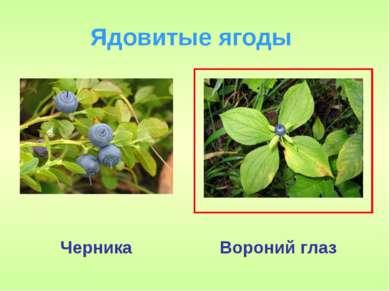 Ядовитые ягоды Черника Вороний глаз