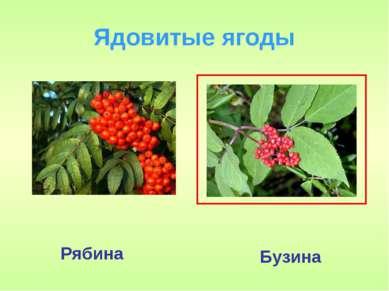 Ядовитые ягоды Бузина Рябина