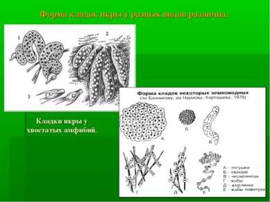 Кладки икры у хвостатых амфибий. Форма кладок икры у разных видов различна.