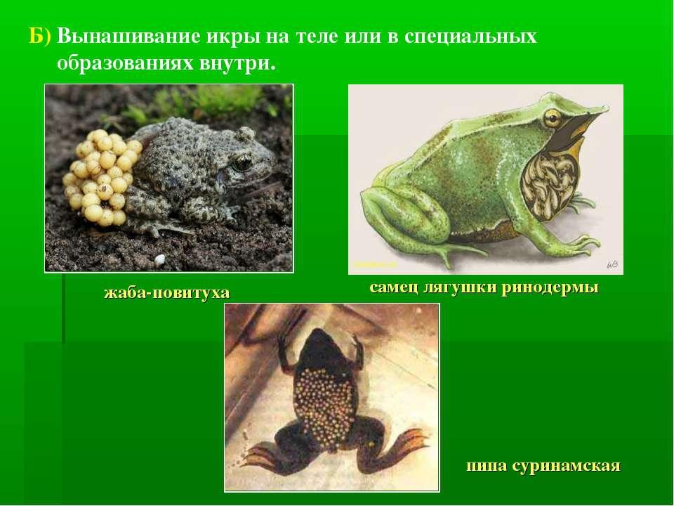 Б) Вынашивание икры на теле или в специальных образованиях внутри. жаба-повит...
