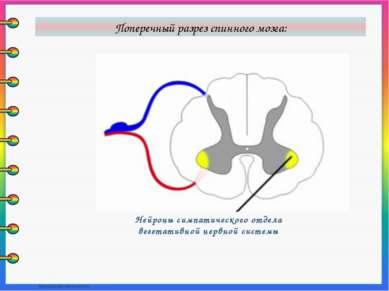 Нейроны симпатического отдела вегетативной нервной системы Поперечный разрез ...