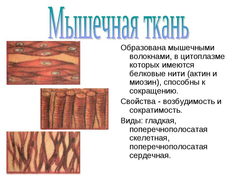 Образована мышечными волокнами, в цитоплазме которых имеются белковые нити (а...