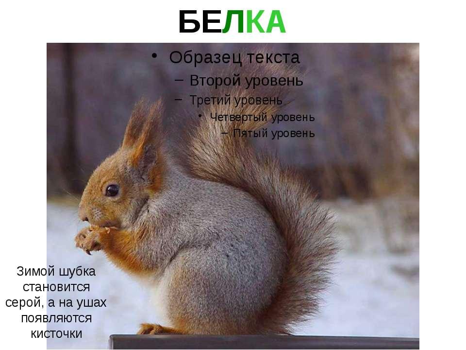 БЕЛКА Зимой шубка становится серой, а на ушах появляются кисточки