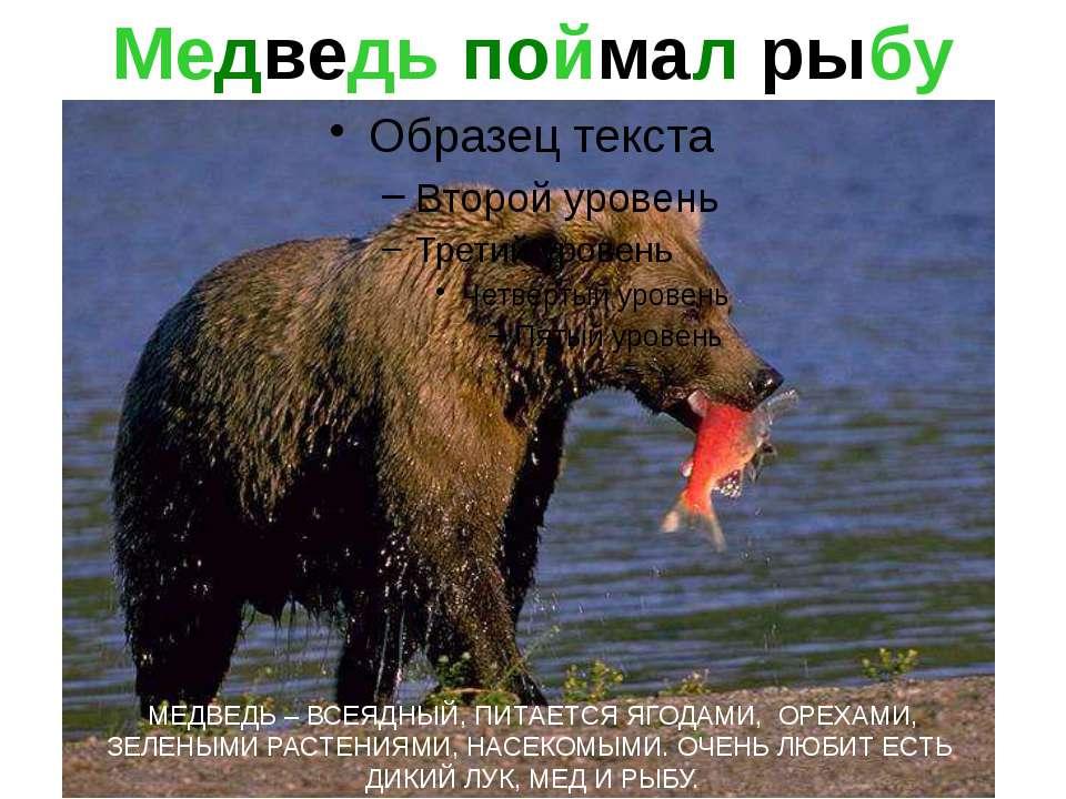 Медведь поймал рыбу МЕДВЕДЬ – ВСЕЯДНЫЙ, ПИТАЕТСЯ ЯГОДАМИ, ОРЕХАМИ, ЗЕЛЕНЫМИ Р...