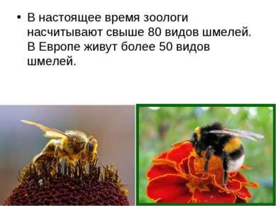 В настоящее время зоологи насчитывают свыше 80 видов шмелей. В Европе живут б...
