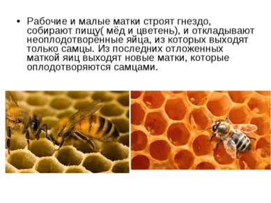 Рабочие и малые матки строят гнездо, собирают пищу( мёд и цветень), и отклады...