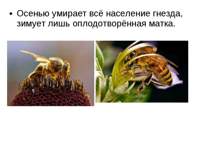 Осенью умирает всё население гнезда, зимует лишь оплодотворённая матка.