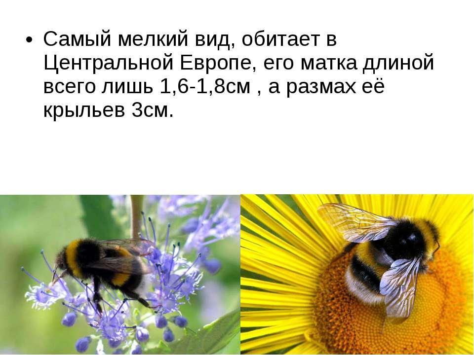 Самый мелкий вид, обитает в Центральной Европе, его матка длиной всего лишь 1...