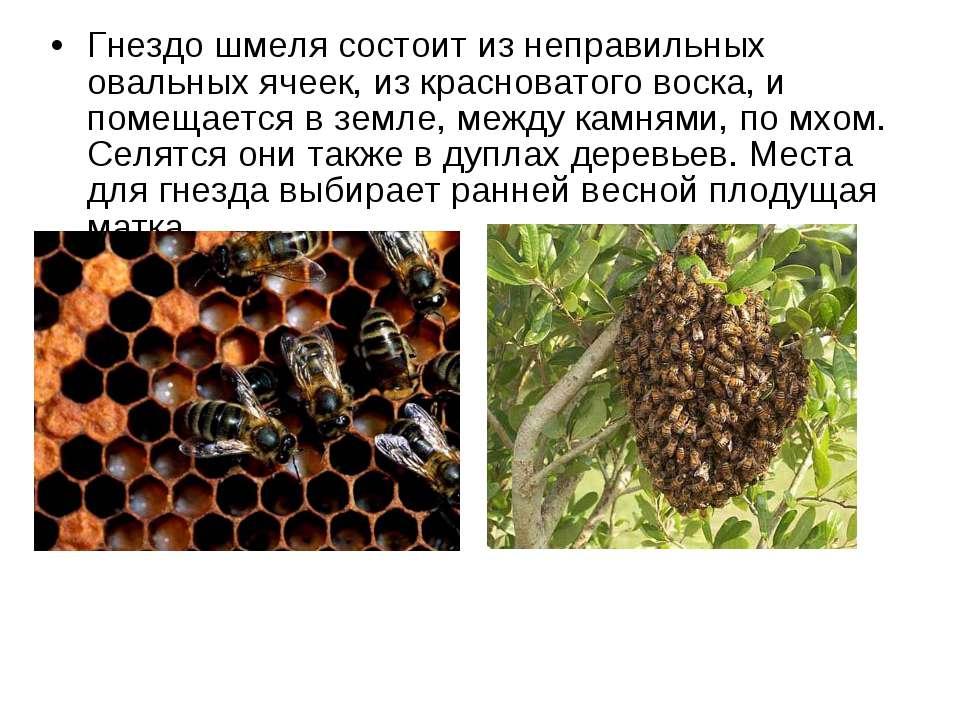 Гнездо шмеля состоит из неправильных овальных ячеек, из красноватого воска, и...