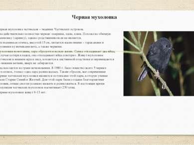 Черная мухоловка Черная мухоловка чатэмская – эндемик Чатэмских островов. Она...