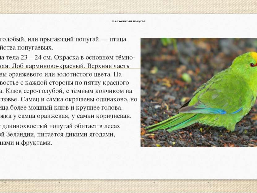 Желтолобый попугай Желтолобый, или прыгающий попугай — птица семейства попуга...