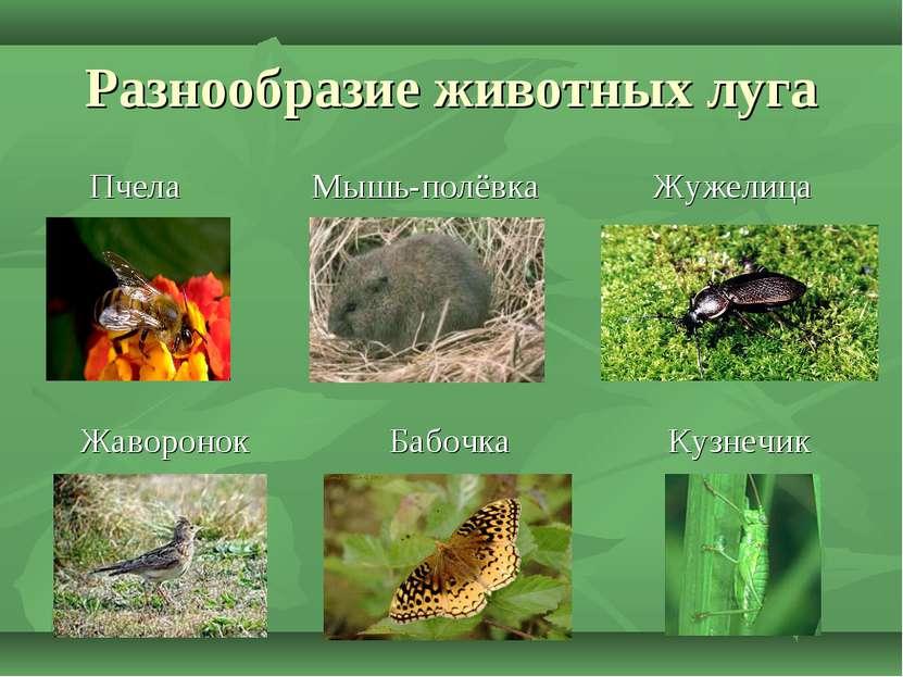 Разнообразие животных луга Пчела Мышь-полёвка Жужелица Жаворонок Бабочка Кузн...