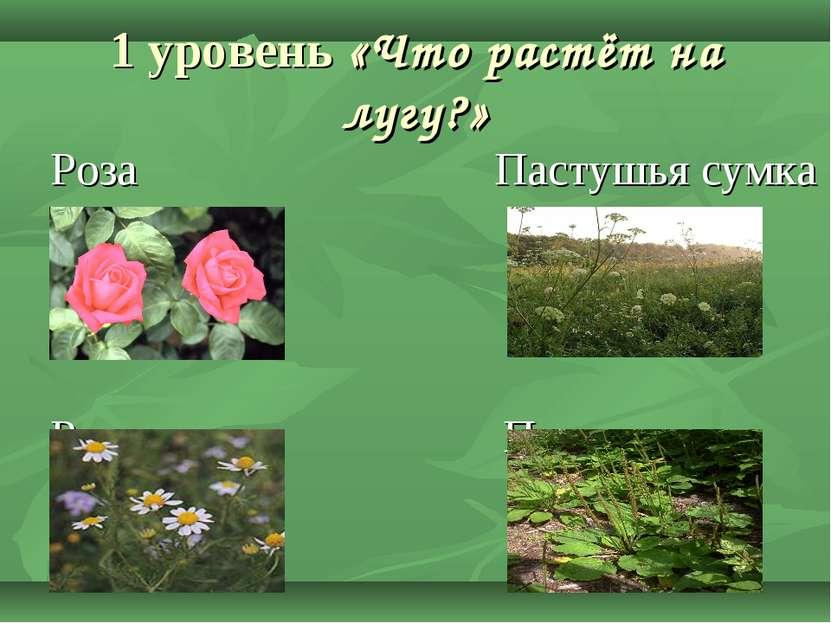 1 уровень «Что растёт на лугу?» Роза Пастушья сумка Ромашка Подорожник