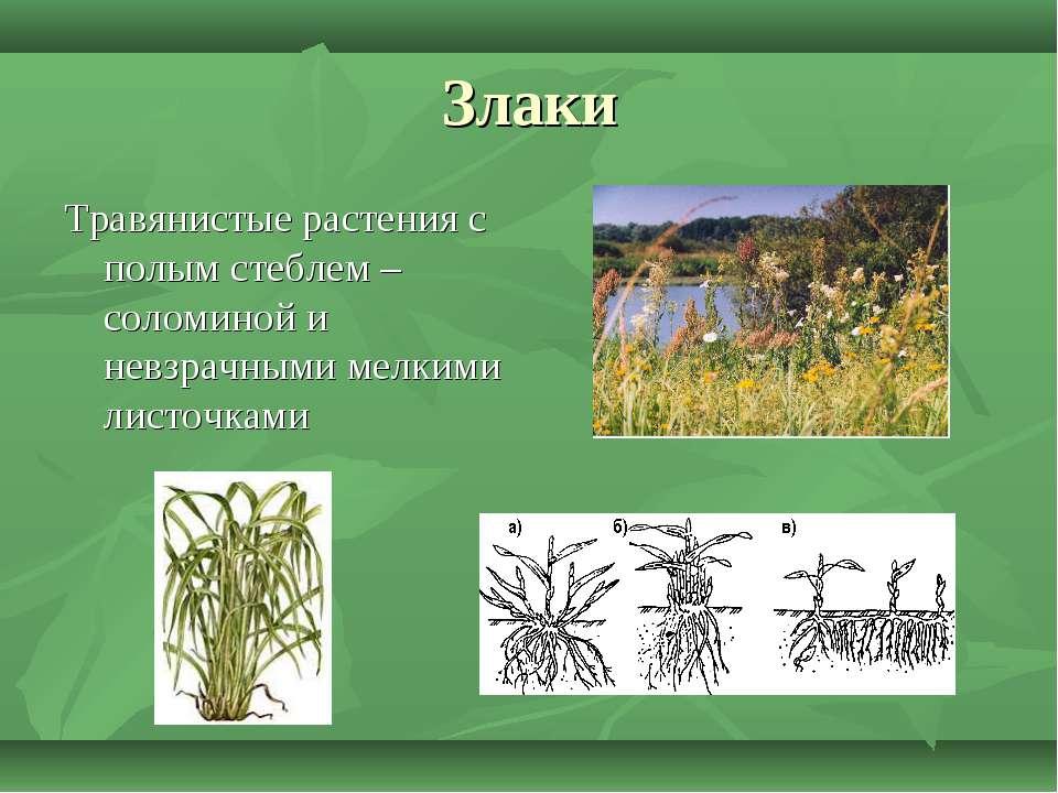 Злаки Травянистые растения с полым стеблем – соломиной и невзрачными мелкими ...