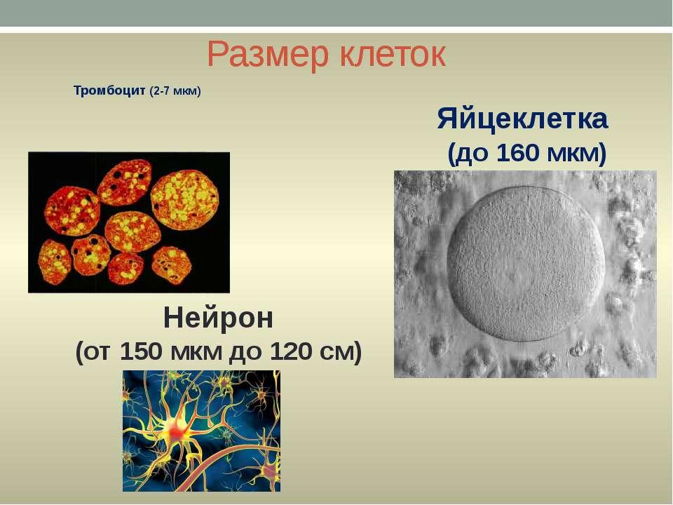 Размер клеток Тромбоцит (2-7 мкм) Яйцеклетка (до 160 мкм) Нейрон (от 150 мкм ...