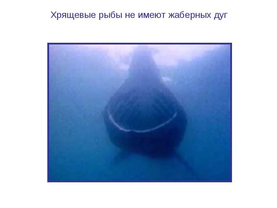 Хрящевые рыбы не имеют жаберных дуг Видеофрагмент