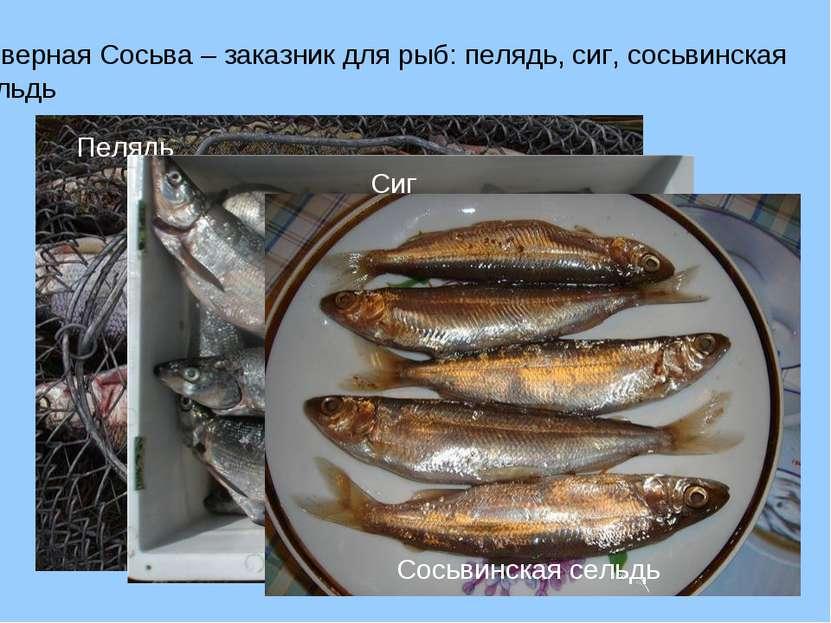 Северная Сосьва – заказник для рыб: пелядь, сиг, сосьвинская сельдь
