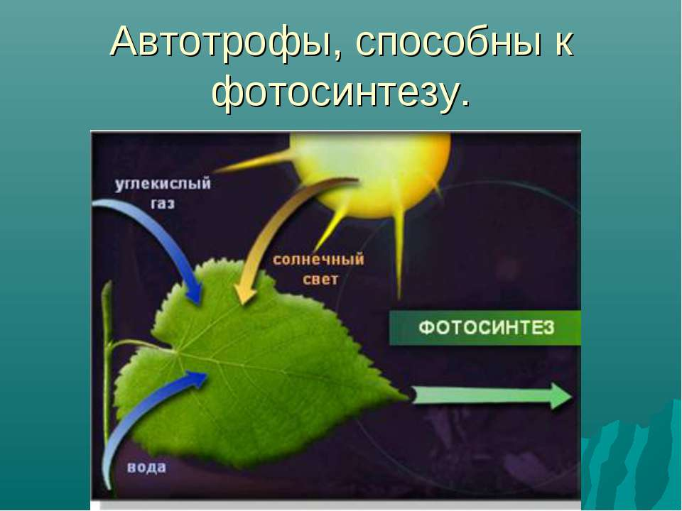 Автотрофы, способны к фотосинтезу.