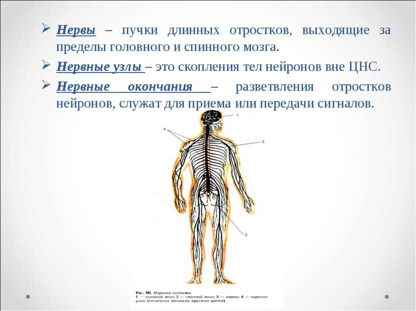 Нервы – пучки длинных отростков, выходящие за пределы головного и спинного мо...