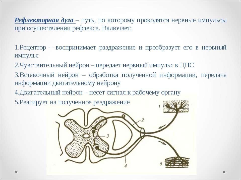 Рефлекторная дуга – путь, по которому проводятся нервные импульсы при осущест...
