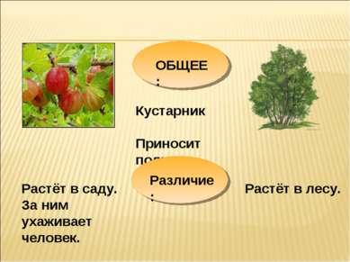 ОБЩЕЕ: Кустарник Приносит пользу Растёт в саду. За ним ухаживает человек. Рас...