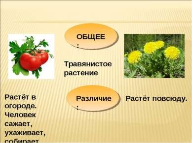 ОБЩЕЕ: Травянистое растение Различие: Растёт в огороде. Человек сажает, ухажи...
