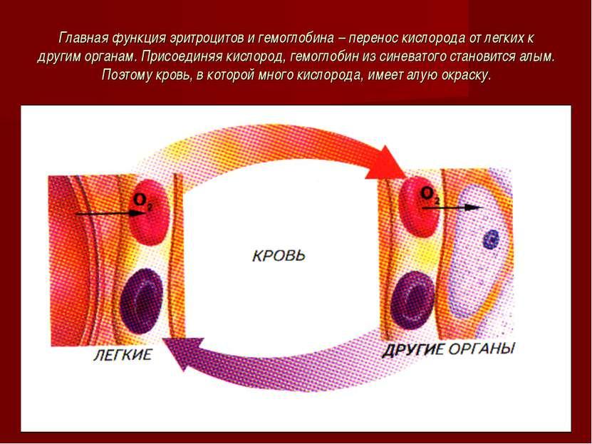 Главная функция эритроцитов и гемоглобина – перенос кислорода от легких к дру...