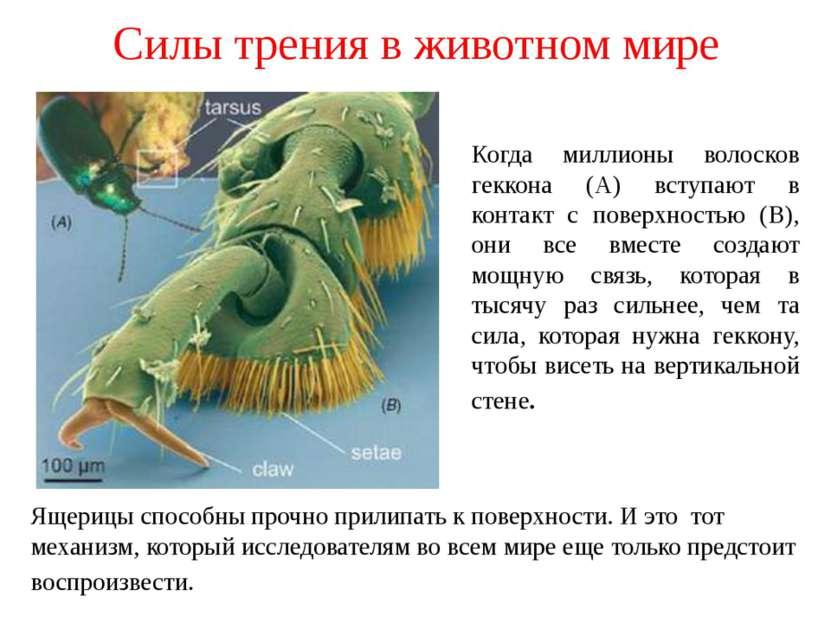 Силы трения в животном мире Когда миллионы волосков геккона (А) вступают в ко...