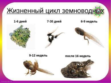 Жизненный цикл земноводных 1-6 дней 7-30 дней 6-9 недель 9-12 недель после 16...