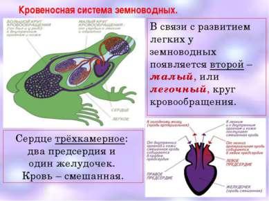 Кровеносная система земноводных. В связи с развитием легких у земноводных поя...