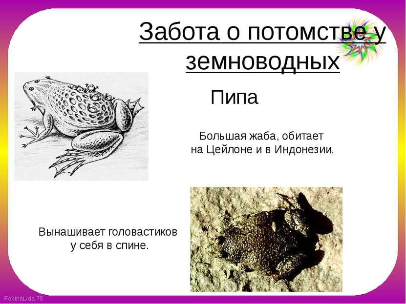 Забота о потомстве у земноводных Вынашивает головастиков у себя в спине. Пипа...