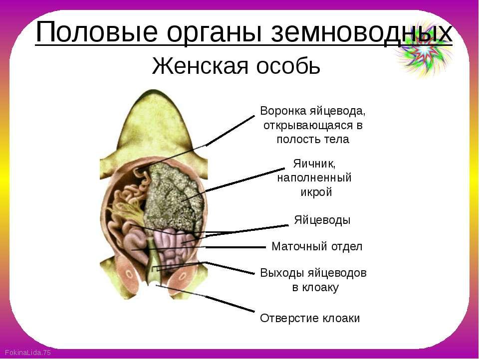 Женская особь Воронка яйцевода, открывающаяся в полость тела Яичник, наполнен...