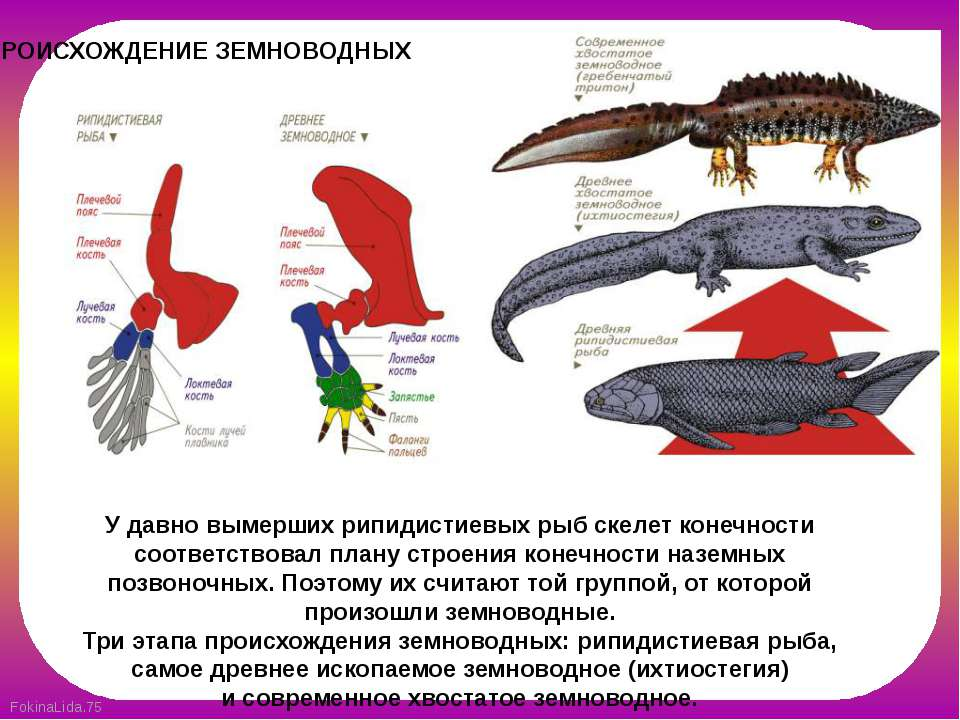 ПРОИСХОЖДЕНИЕ ЗЕМНОВОДНЫХ У давно вымерших рипидистиевых рыб скелет конечност...