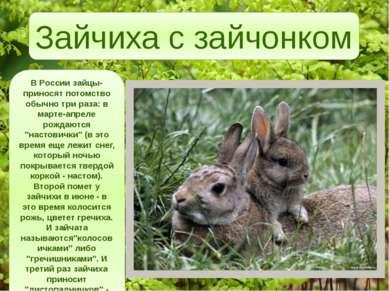 """В России зайцы-приносят потомство обычно три раза: в марте-апреле рождаются """"..."""