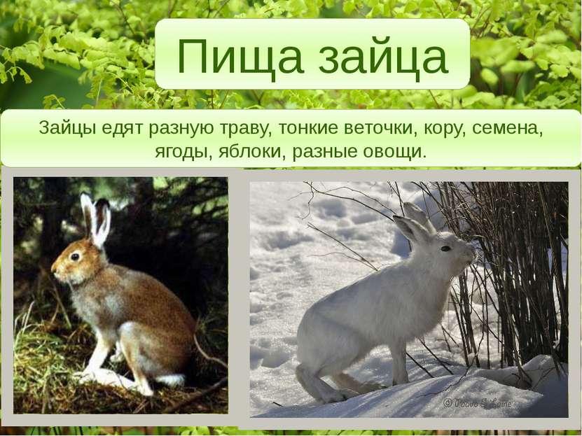 Пища зайца Зайцы едят разную траву, тонкие веточки, кору, семена, ягоды, ябло...