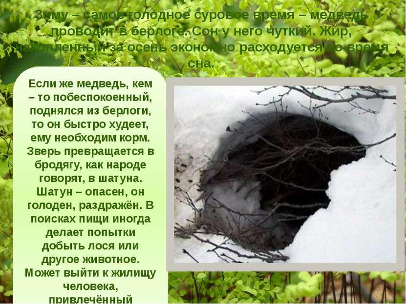 Зиму – самое голодное суровое время – медведь проводит в берлоге. Сон у него ...