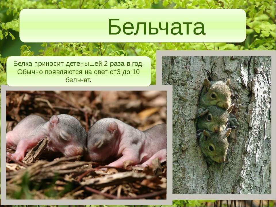 Бельчата Белка приносит детенышей 2 раза в год. Обычно появляются на свет от3...