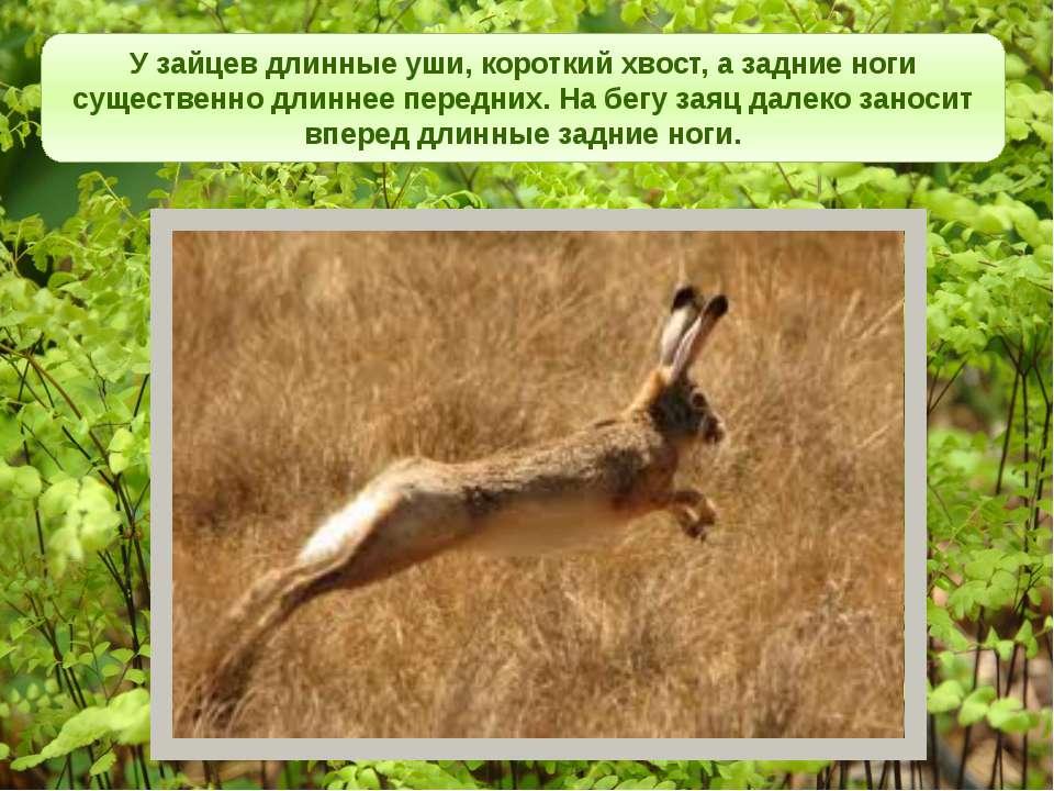 У зайцев длинные уши, короткий хвост, а задние ноги существенно длиннее перед...