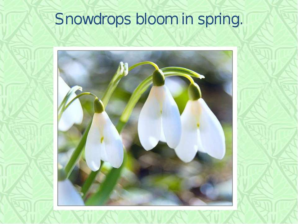 Snowdrops bloom in spring.