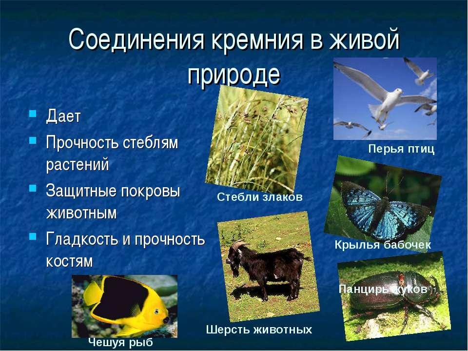 Соединения кремния в живой природе Дает Прочность стеблям растений Защитные п...